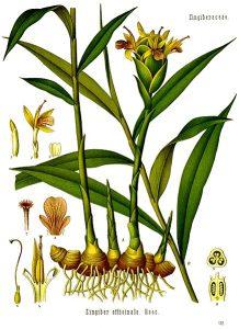 Gingembre bio gélules - Plante de gingembre
