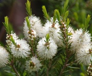 Tea Tree - Fleurs de Tea Tree